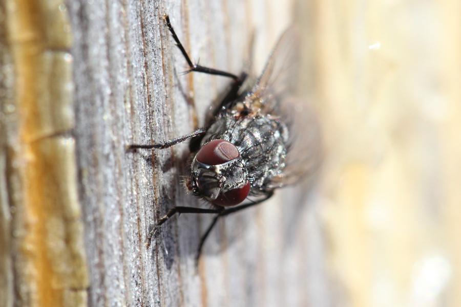 Красные фасеточные глаза проснувшейся ранней весной мухи
