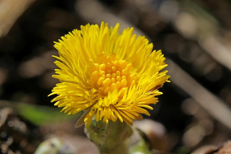 Яркий жёлтый цветок мать-и-мачехи ранней весной