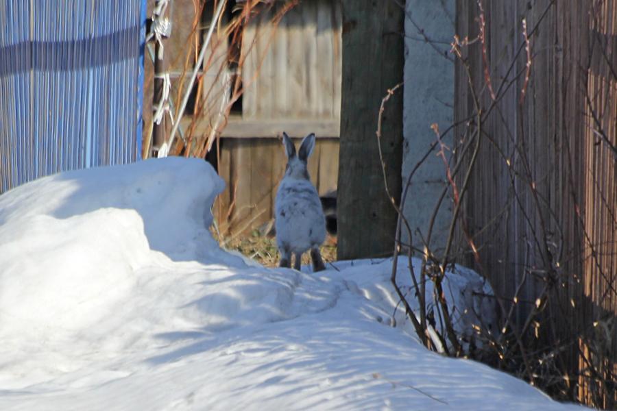Заяц-русак (Lepus europaeus) на снежном сугробе весной в белой шубке, линяющей на более тёмнуй и чуть рыжеватой мордочкой