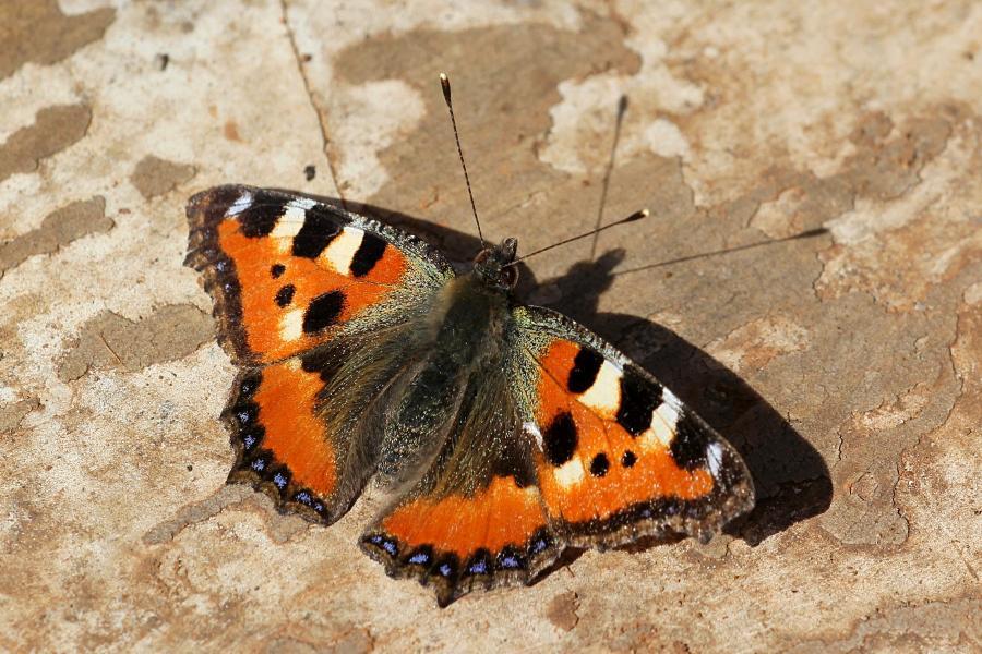 Бабочка-крапивница (лат. Aglais urticae, Nymphalis urticae) ранней весной: рыжие с черными и белыми пятнами крылья с каймой из синих пятен