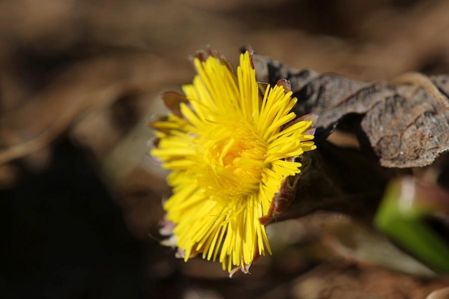Яркий жёлтый цветок мать-и-мачехи весной, в середине апреля