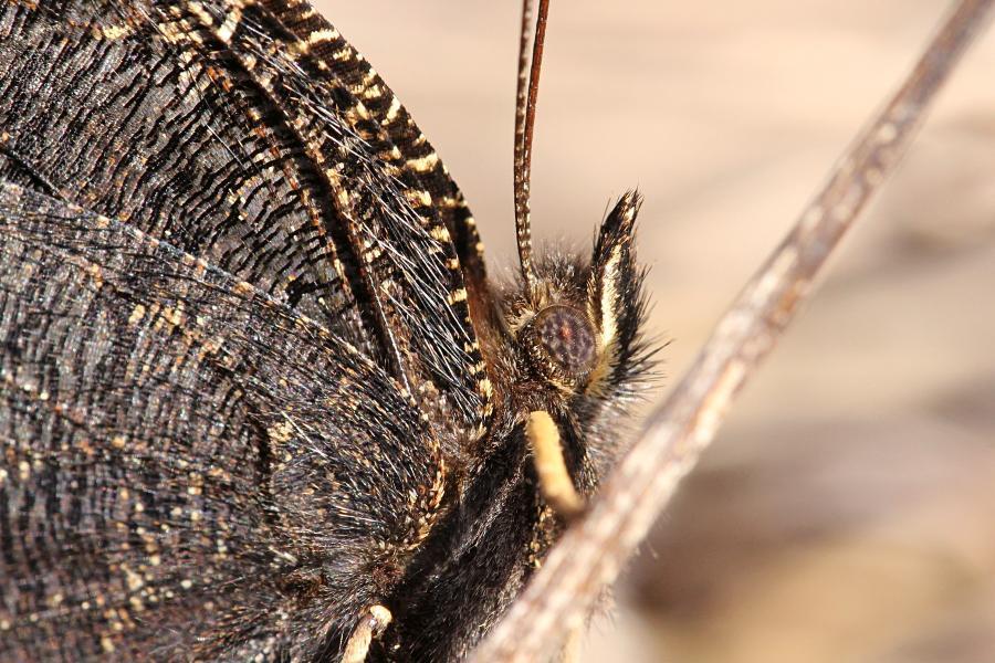 Голова и глаза бабочки-траурницы (лат. Nymphalis antiopa) крупным планом