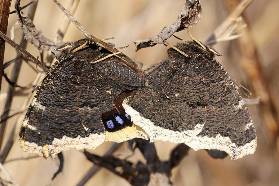 Копуляция (размножение, секс) пары бабочек-траурниц (лат. Nymphalis antiopa) ранней весной, в апреле