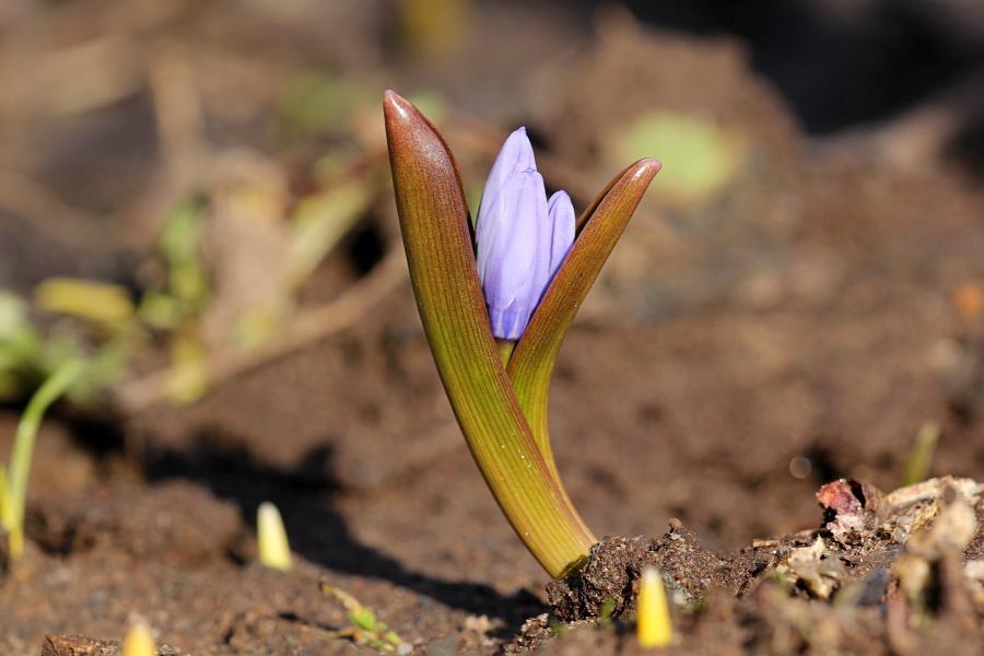 светло-фиолетовые бутоны и свежие зелёные листья готовой расцвести пролески (лат. Scilla)