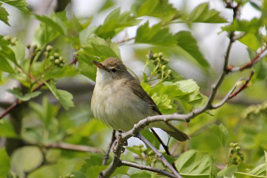 Камышовка садовая (Acrocephalus dumetorum) - небольшая серая птица с серо-бурым верхом и оливково-бежевым низом