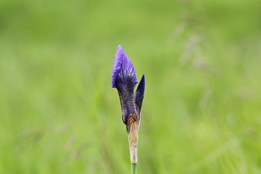 Сине-фиолетовые цветки и бутоны дикого ириса (ирис сибирский, Iris sibirica, касатик) в конце июня на заливных лугах