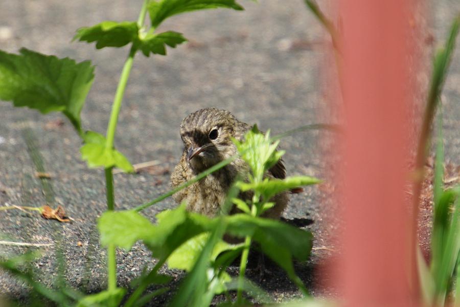 Птенец обыкновенной (садовой) горихвостки (лат. Phoenicurus phoenicurus) с коротким рыжим хвостом, слабо развитыми крыльями, сереньким с пестринами тельцем и светлым брюшком