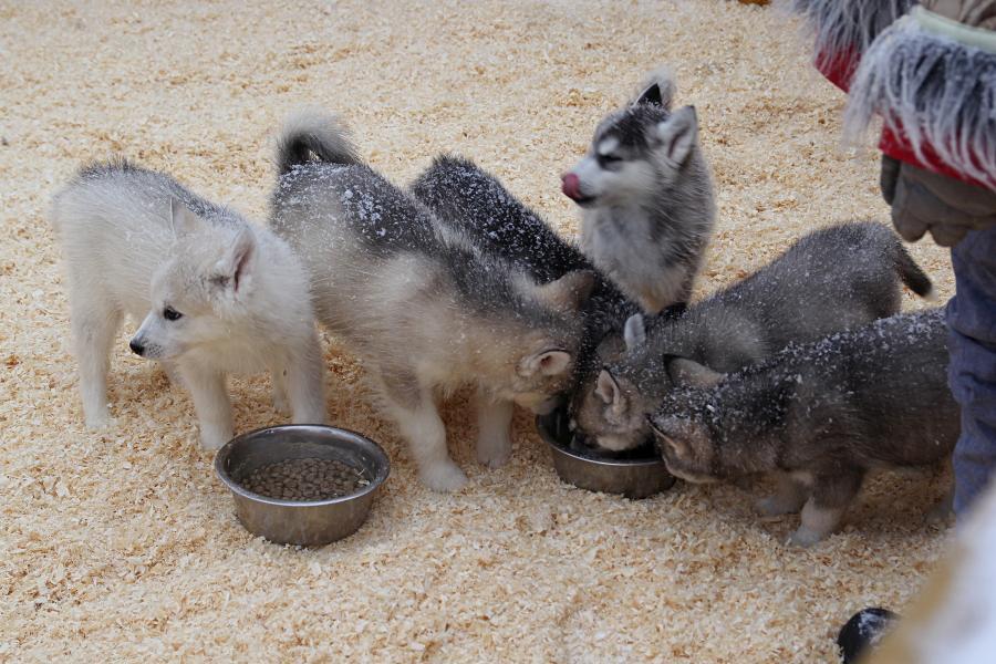 Щенки хаски и маламута обедают в вольере