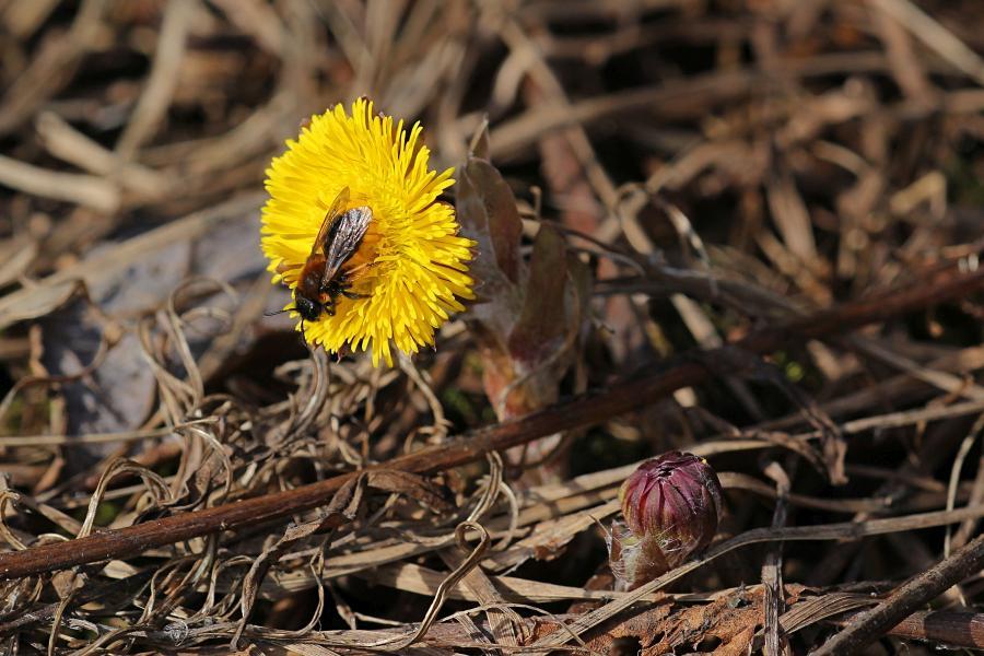 Мохнатая пчела собирает нектар и пыльцу на первых цветках мать-и-мачехи ранней весной в начале апреля