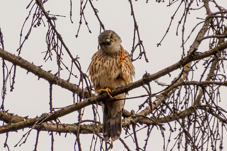 Мир тебе, чувак! Дай пятюню, братюня… Дербник (лат. Falco columbarius) - мелкий (с голубя) сокол с серыми крыльями (бурыми у самок), крапчатым низом, жёлтыми лапами и похожим на ласточку полетом