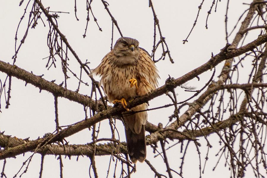 - Хехехе, какой я мерзкий - когда только что совершил пакость… Дербник (лат. Falco columbarius) - мелкий (с голубя) сокол с серыми крыльями (бурыми у самок), крапчатым низом, жёлтыми лапами и похожим на ласточку полетом