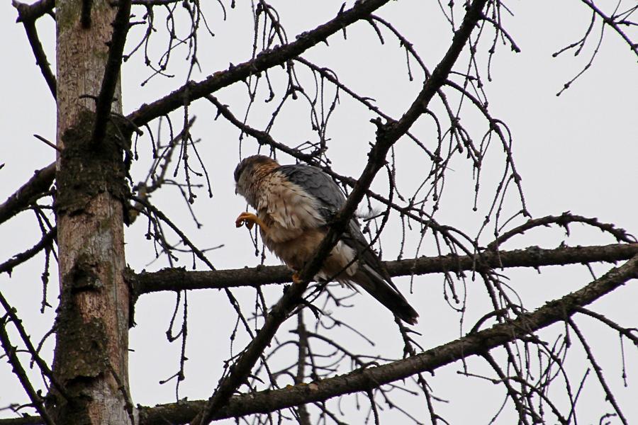 Дербник (лат. Falco columbarius) - мелкий (с голубя) сокол с серыми крыльями (бурыми у самок), крапчатым низом, жёлтыми лапами и похожим на ласточку полетом