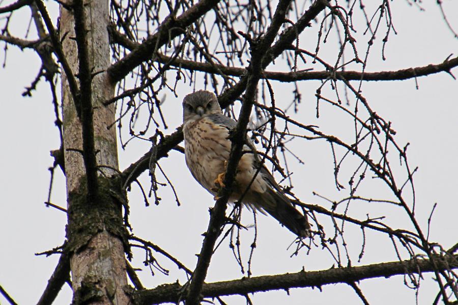 Смотрит на вас как на добычу. Дербник (лат. Falco columbarius) - мелкий (с голубя) сокол с серыми крыльями (бурыми у самок), крапчатым низом, жёлтыми лапами и похожим на ласточку полетом