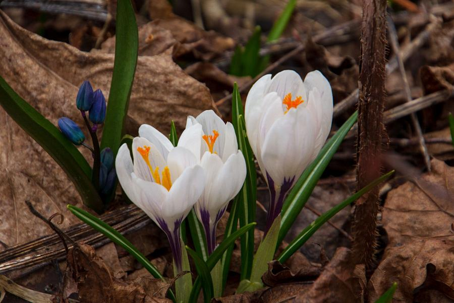 Белый цветок с жёлтыми тычинками шафрана (он же крокус) ранней весной в апреле среди прошлогодней опавшей листвы
