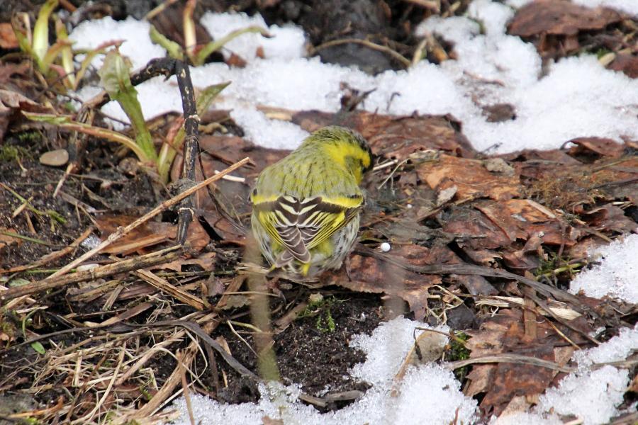Чиж (лат. Carduelis spinus) - маленькая птичка зеленовато-жёлтого цвета с жёлтой и чёрной полосами на крыльях, крапинками на животе и чёрной шапочкой у самца