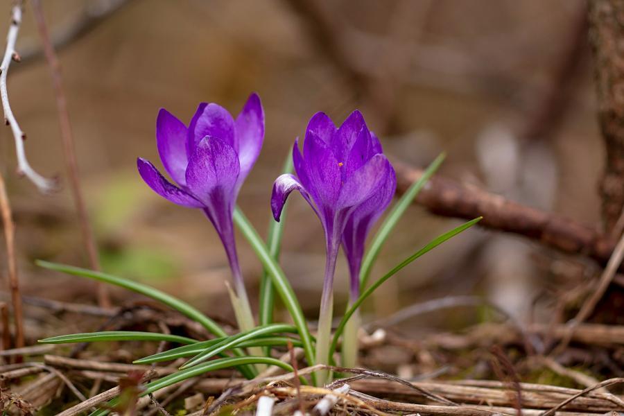Сиреневый цветок шафрана (он же крокус) ранней весной в апреле среди прошлогодней опавшей листвы