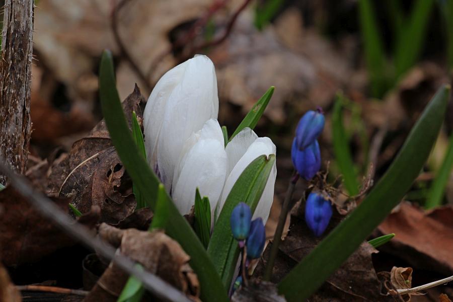 Белый цветок шафрана (он же крокус) ранней весной в апреле среди прошлогодней опавшей листвы