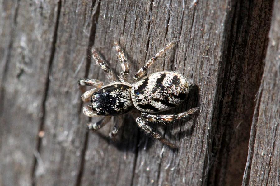 Паук скакунчик опоясанный (салтикус, лат. Salticus cingulatus) на старой древесине. Мелкий подвижный паук с полосатыми лапками, светлой шёрсткой с Y-образным узором на спинке