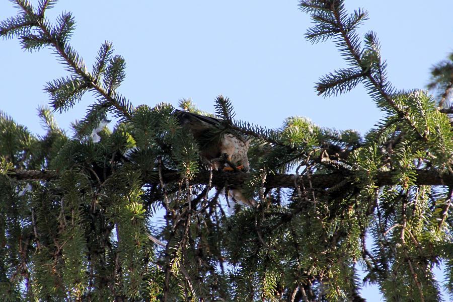Мелкий сокол дербник (Falco columbarius) с добычей на ветке ели