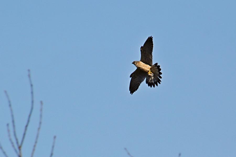 Мелкий сокол дербник (Falco columbarius) в полёте с добычей