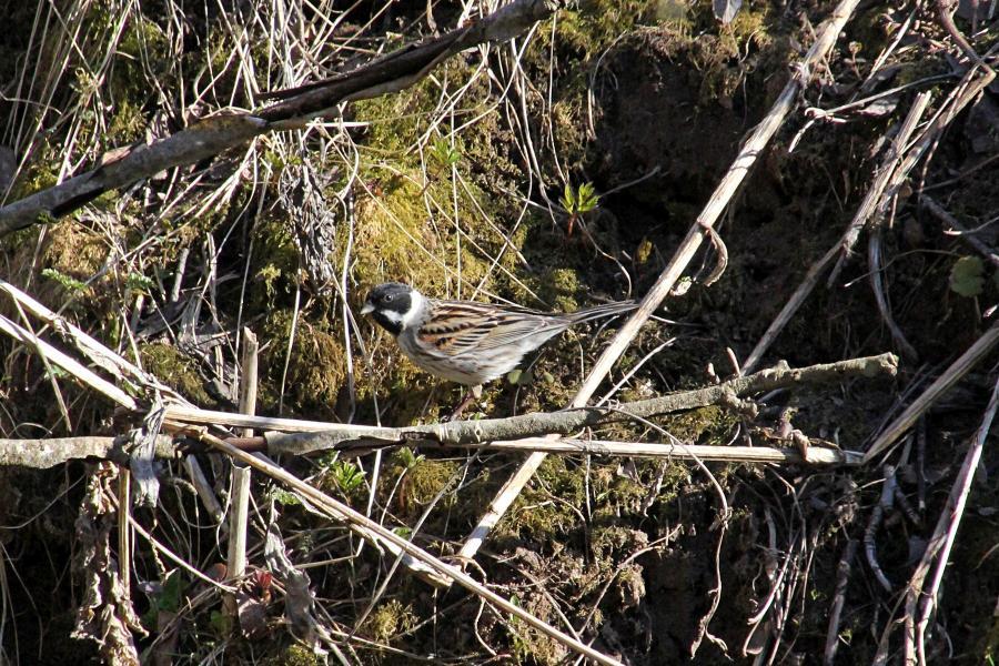 Камышовая (тростниковая) овсянка, камышник (лат. Emberiza schoeniclus) мелкая птица зарослей по берегам водоёмов, окраской напоминающая воробья, с чёрным «капюшончиком» на голове у самца