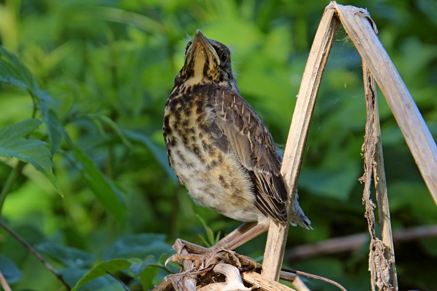 Птенец-слёток дрозда-рябинника (Turdus pilaris) с короткими перьями хвоста и крыльев, пушком на голове, прячется среди сухих веток