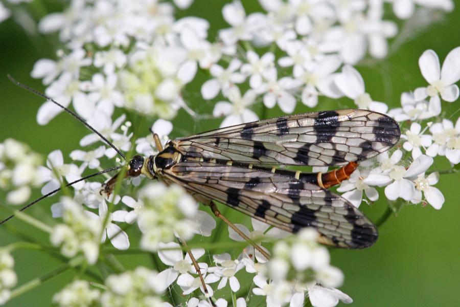 Скорпионовая муха, скорпионница (лат. Panorpa) - жёлтая муха с чёрным узором на крыльях и жалом скорпиона на хвосте самца