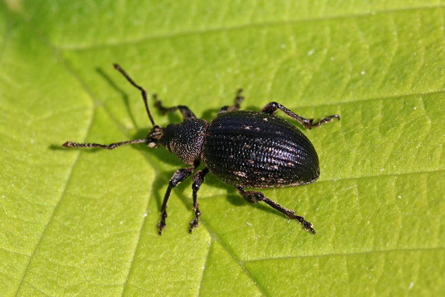 Жук скосарь печальный (Otiorhynchus tristis), относящийся к роду скосари, они же хоботники, они же ушастые слоники. Некрупный жук-слоник чёрного цвета на зелёном листе