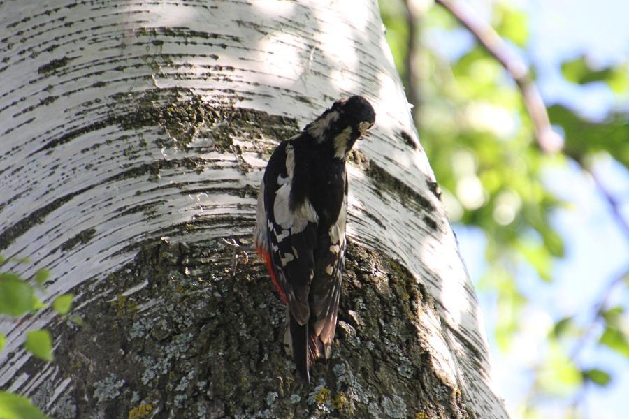 Большой пёстрый дятел (лат. Dendrocopos major), самка собирает насекомых, чтобы покормить птенца