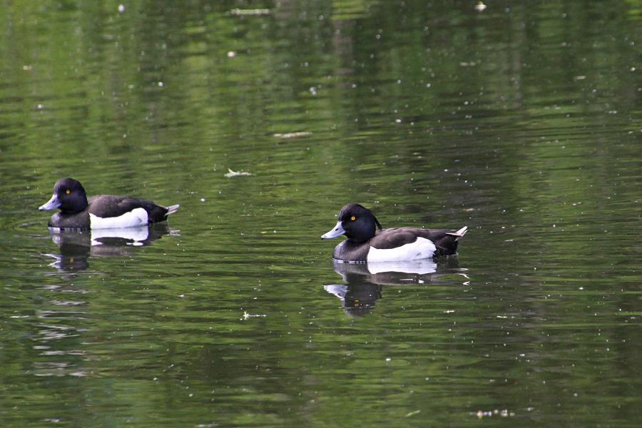 Хохлатая чернеть - чёрная утка с «косичкой» и белыми боками и жёлтыми глазами