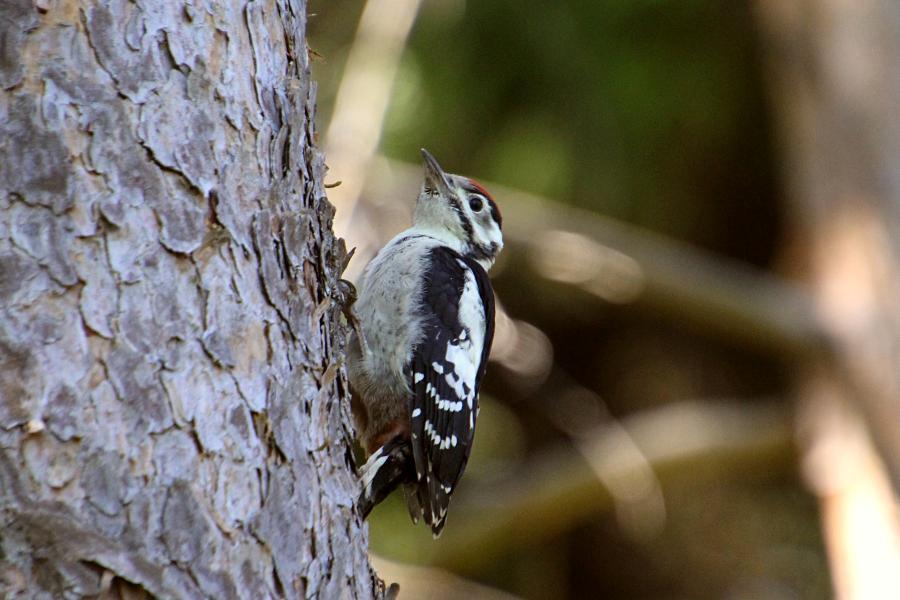 Большой пёстрый дятел (лат. Dendrocopos major), молодой птенец-слёток с красной шапочкой на голове