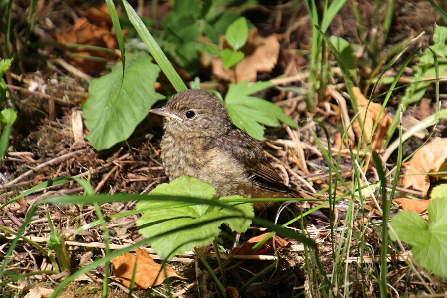 Маленькие пушистые птенцы-слётки горихвостки обыкновенной (Phoenicurus phoenicurus) на земле среди травы