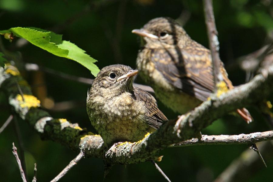 Маленькие пушистые птенцы-слётки горихвостки обыкновенной (Phoenicurus phoenicurus) на ветке дерева