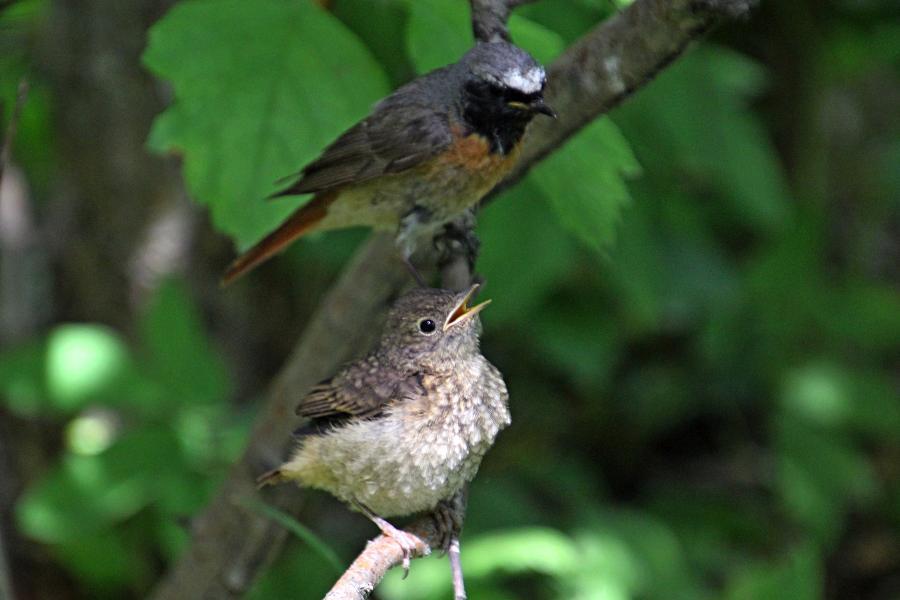 Маленькие пушистые птенцы-слётки горихвостки обыкновенной (Phoenicurus phoenicurus) во время кормления родителями