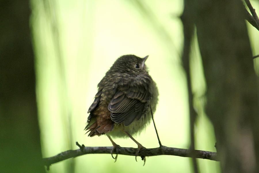 Маленький пушистый птенец-слёток горихвостки обыкновенной (Phoenicurus phoenicurus)