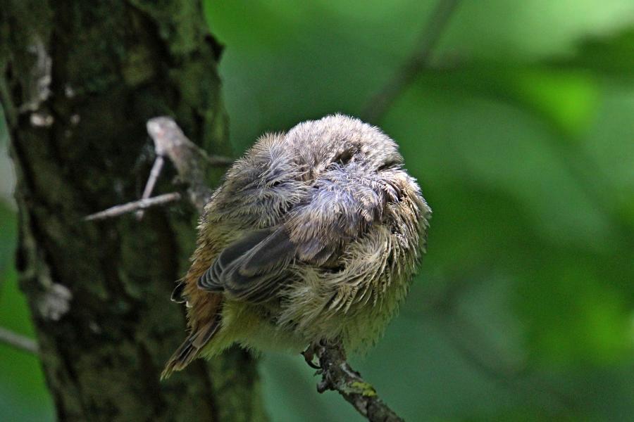 Маленькие пушистые птенцы-слётки горихвостки обыкновенной (Phoenicurus phoenicurus) на ветке дерева, спрятал голову под крыло