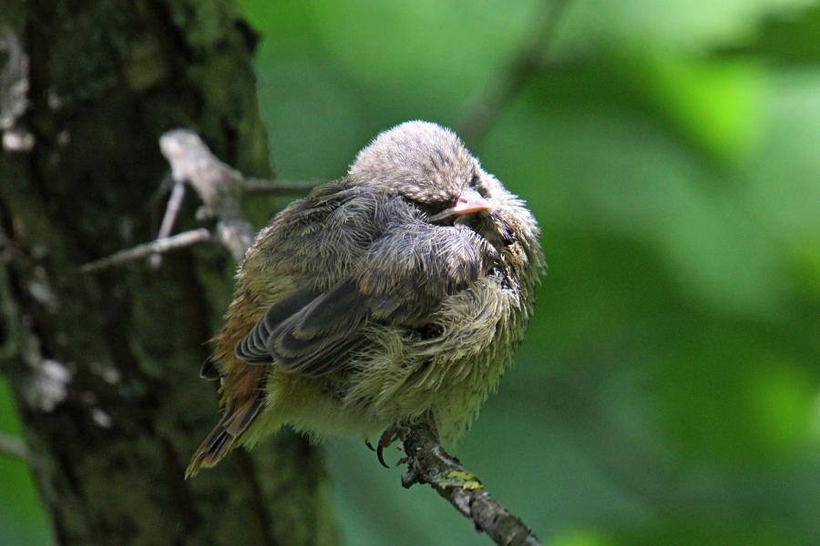 Маленькие пушистые птенцы-слётки горихвостки обыкновенной (Phoenicurus phoenicurus) заснул на ветке дерева
