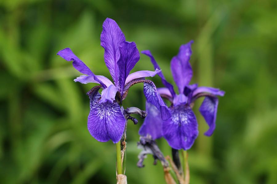 Синие трёхлопастные цветы дикого ириса (он же касатик сибирский,лат. Iris sibirica) на заливных лугах в пойме реки Вятки недалеко от Кирово-Чепецка