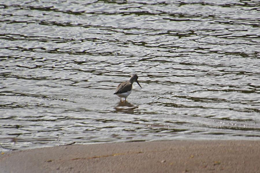 серенький кулик мородунка (лат. Xenus cinereus) с длинным загнутым вверх клювом и жёлтыми лапами собирает моллюсков на песчаной отмели реки Вятки