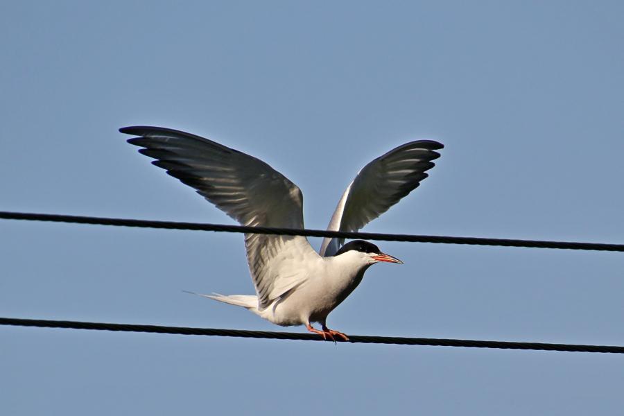 Речная, или обыкновенная крачка (лат. Sterna hirundo) - стройная птица светло-серого цвета с раздвоенным хвостом и чёрной верхней половиной головы, садится на провода