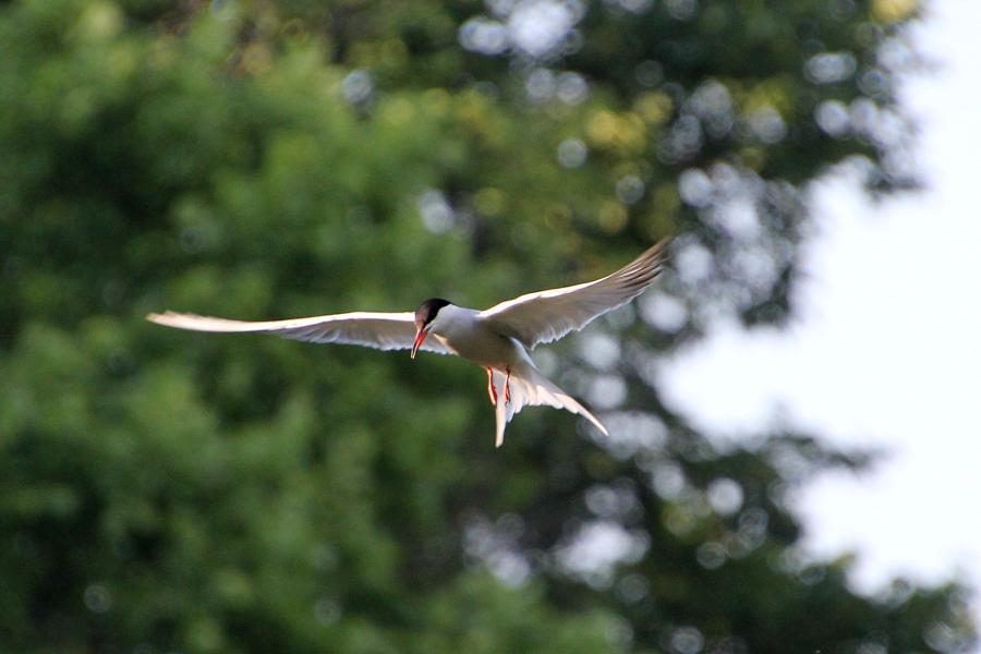 Речная, или обыкновенная крачка (лат. Sterna hirundo) - стройная птица светло-серого цвета с раздвоенным хвостом и чёрной верхней половиной головы, зависает в воздухе над водой и пикирует