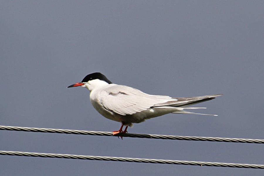 Речная, или обыкновенная крачка (лат. Sterna hirundo) - стройная птица светло-серого цвета с раздвоенным хвостом и чёрной верхней половиной головы, сидит на проводах