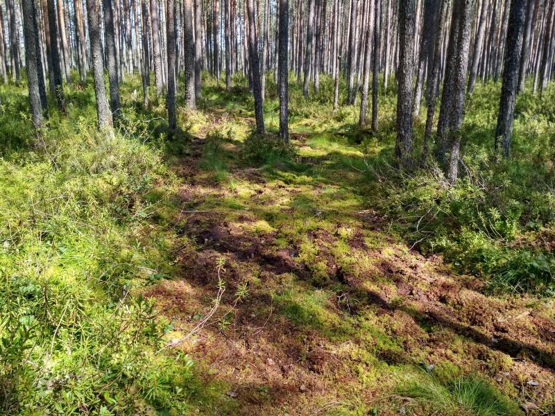 Тропинка в сфагновом болоте у озера Орловское