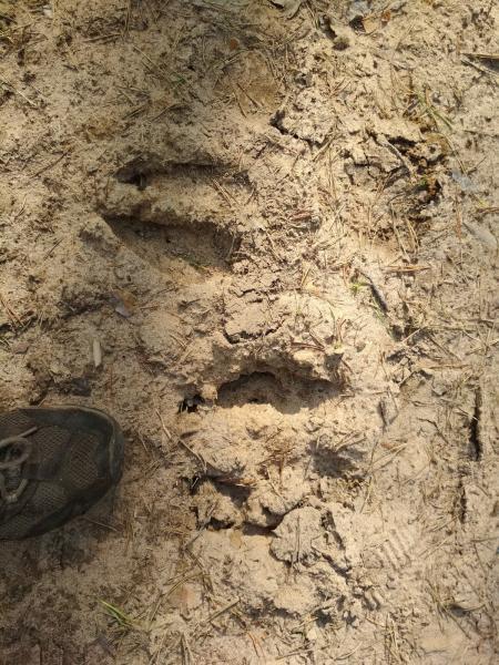 Следы копыт лося на лесной дороге