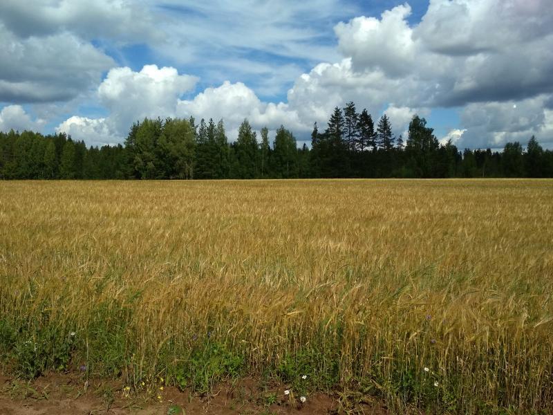 Пшеница и небо