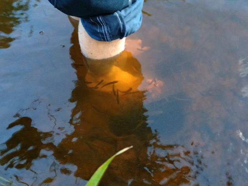 Мальки ощипывают старую кожу с ног в реке Ивкине