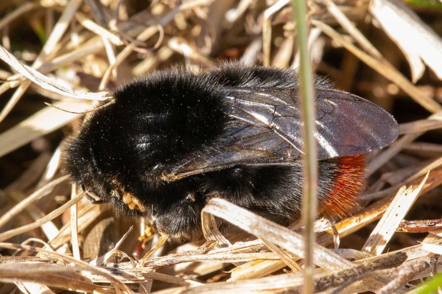 Каменный шмель (лат. Bombus lapidarius), самка - тёмный, чёрный шмель с ярко-оранжевым кончиком брюшка, поражённый паразитическими клещами