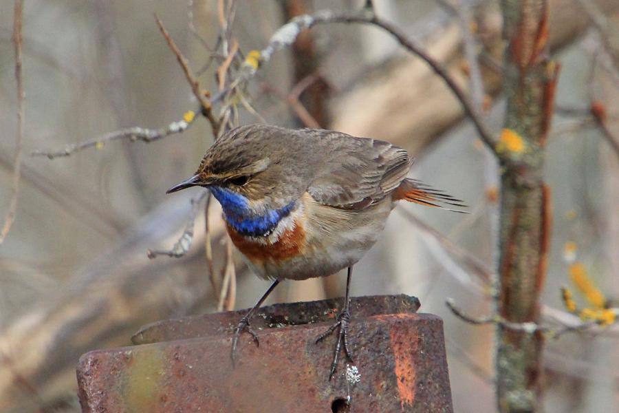 Варакушка (лат. Luscinia svecica), самец - небольшая серая птичка с ярким голубым зобом и рыжим пятном на груди, рыжим хвостом
