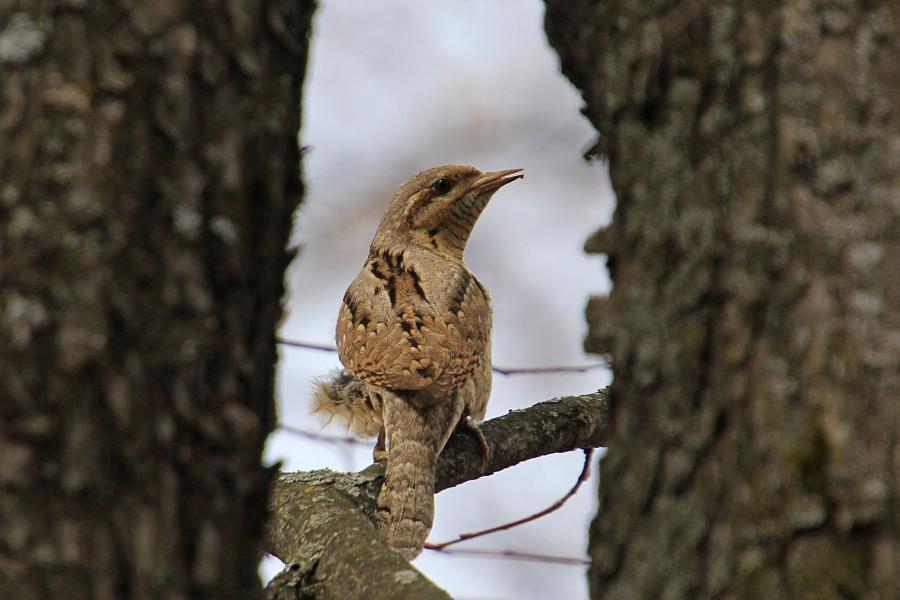 Вертишейка (Jynx torquilla) пёстро-серая птица с подвижной шеей, птица-змея, дятел с голосом сокола