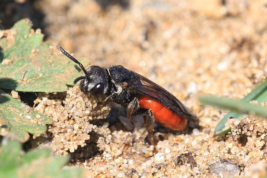 Осовидная пчела Sphecodes albilabris чёрного цвета с красным брюшком пытается подкинуть яйца в нору другой пчелы в песке (клептопаразит, пчела-кукушка)